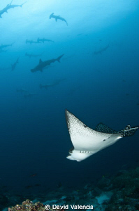Eagle Ray swimming with hammerheads. The current was movi... by David Valencia 